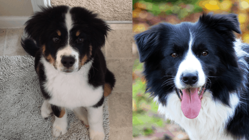 Bernese mountain dog and border collie mix