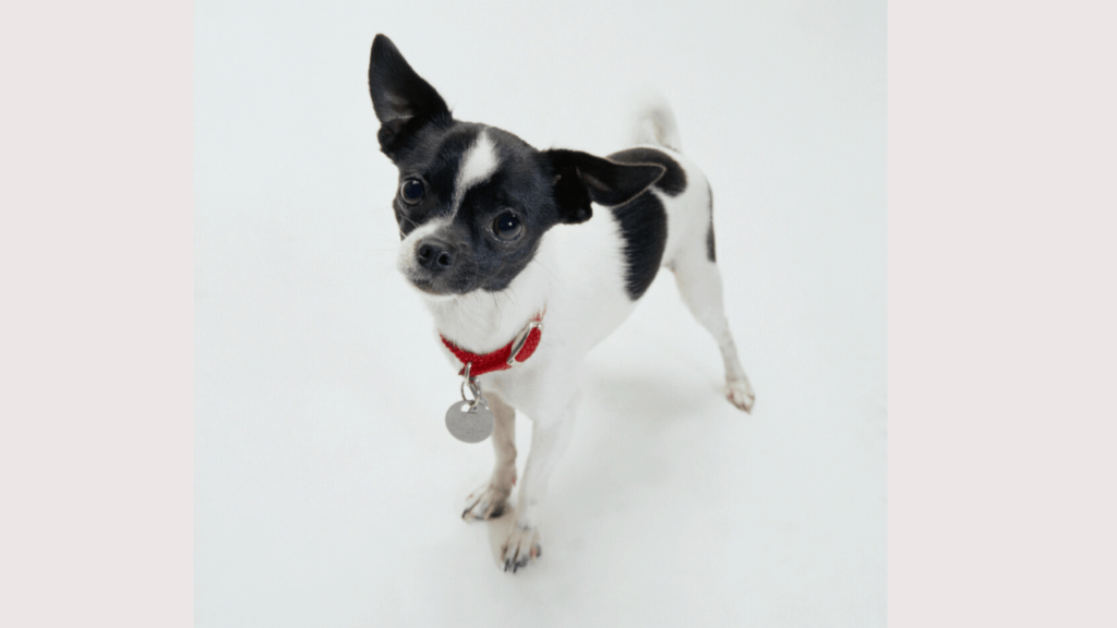 Boston Terrier and Chihuahua Mix
