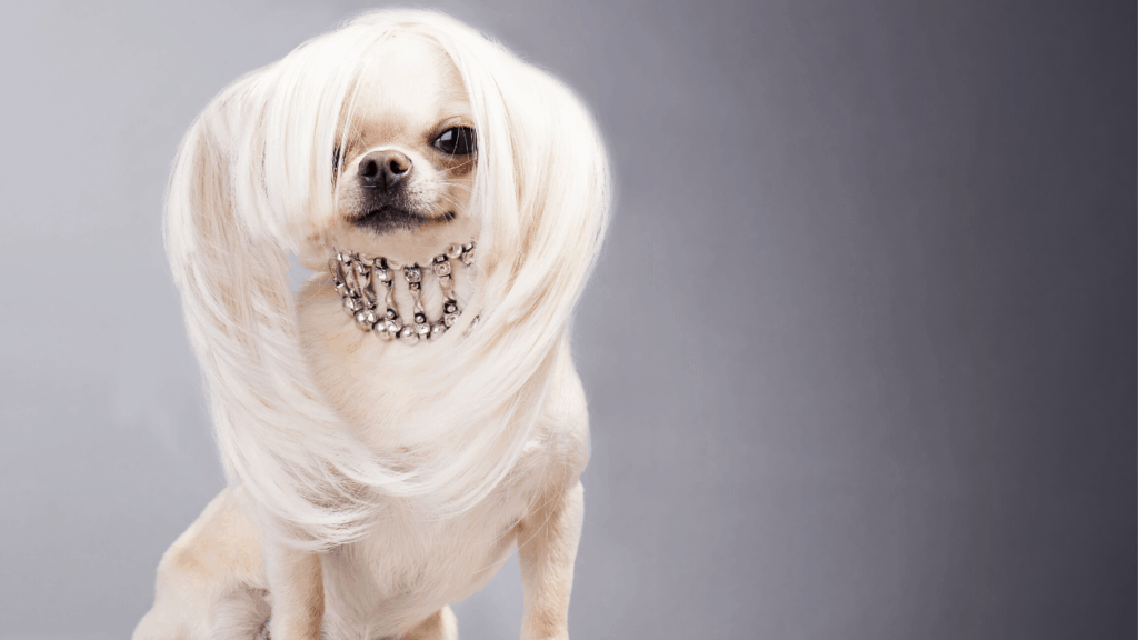Difference Between Long Haired Chihuahua And Short Haired Chihuahua