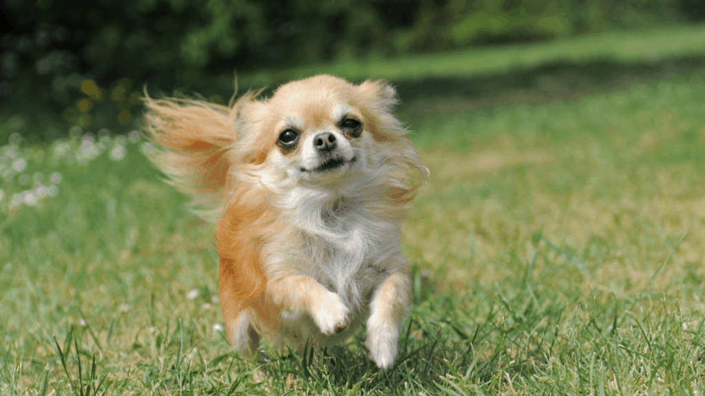 The Chihuahua Dog Breed