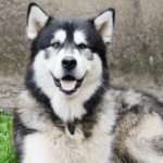 Alaskan Malamute – The Best Breed Of Dog For Family And Personal protection