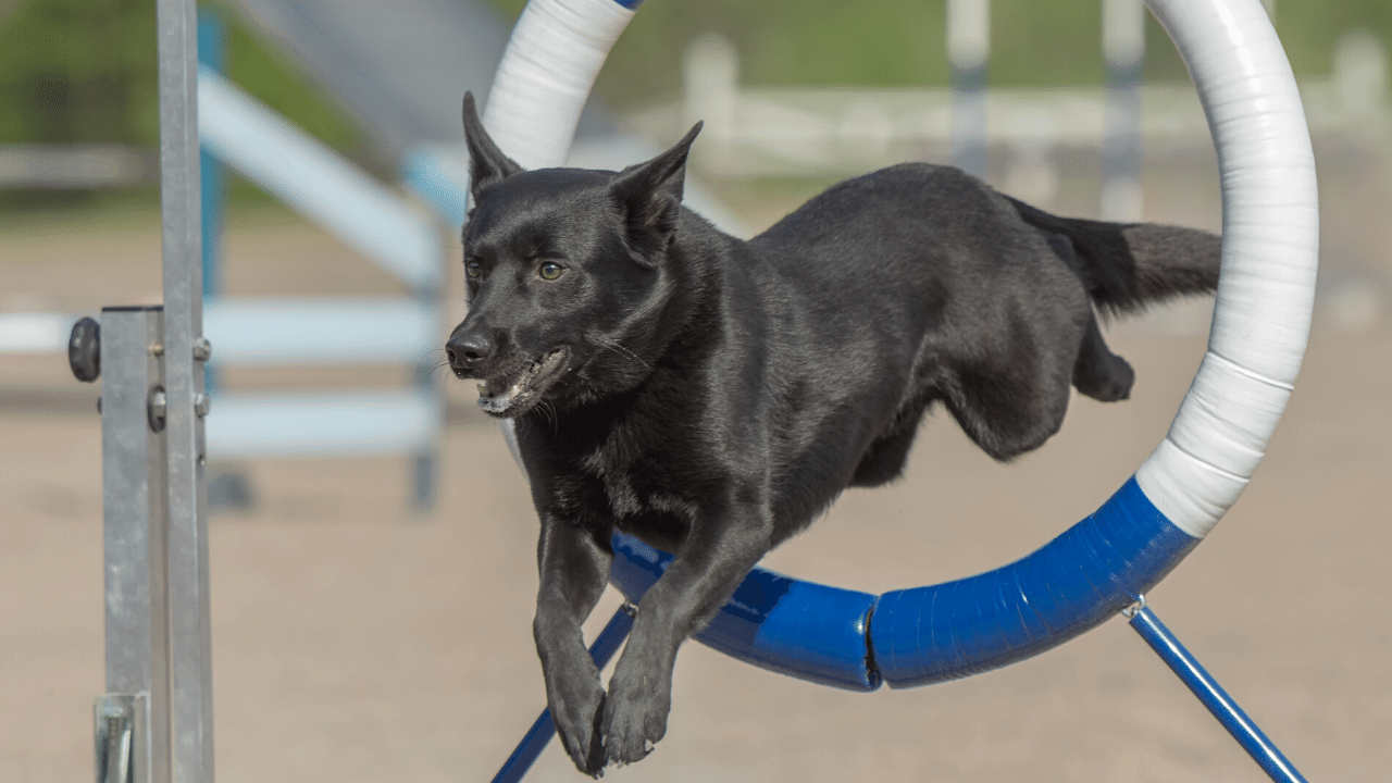 The Australian Kelpie Dog Breed Info Guide With Pictures