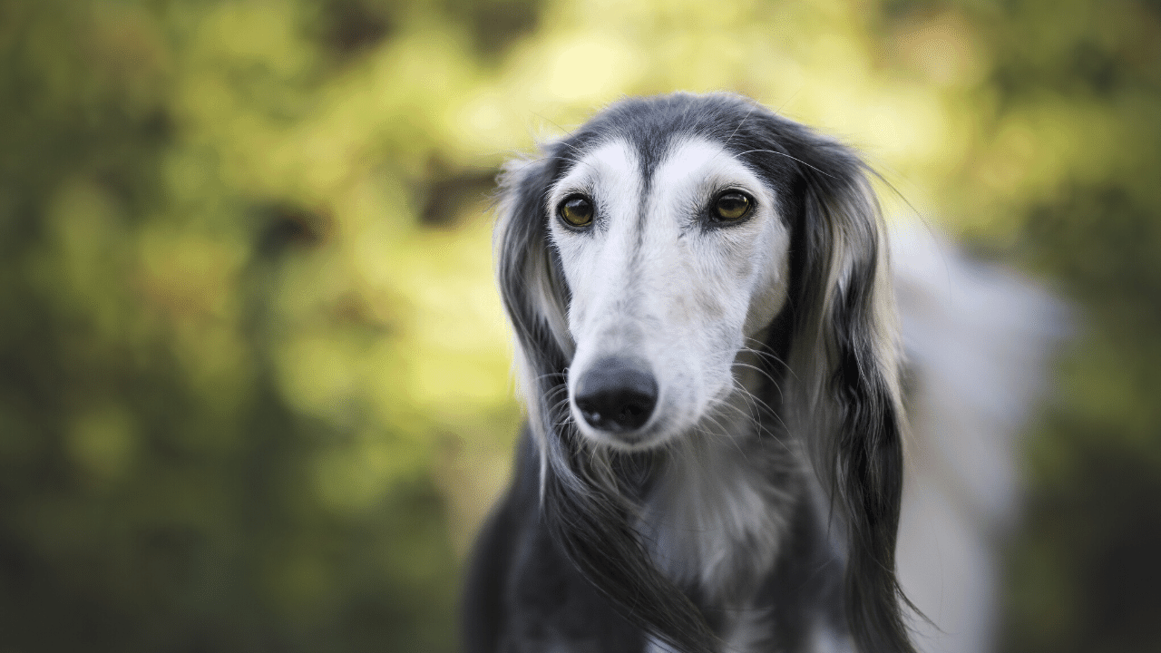 Quiet Dog Breeds For Apartment Living 25 Quiet Dog Breeds That Rarely Bark Pet Referred Blog