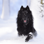 The Belgian Sheepdog Information