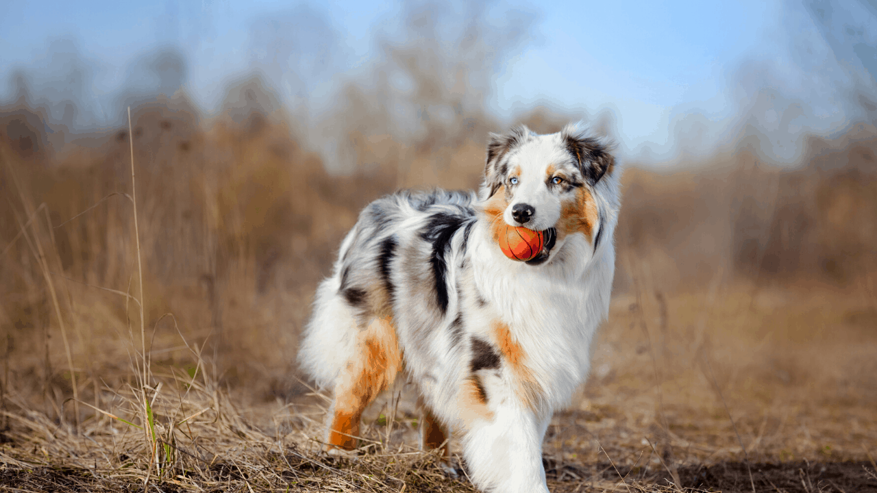 Australian Shepherd Mix With Husky Guide With Pictures