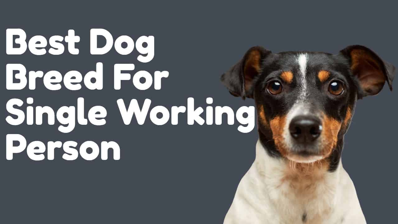 Best Dog Breed For Single Working Person