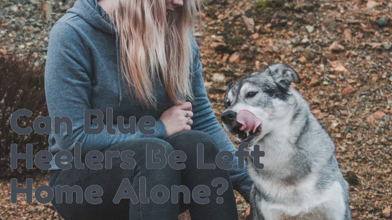 Can Blue Heelers Be Left Alone?