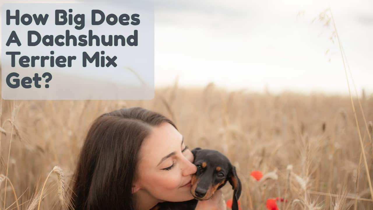 How Big Does A Dachshund Terrier Mix Get?