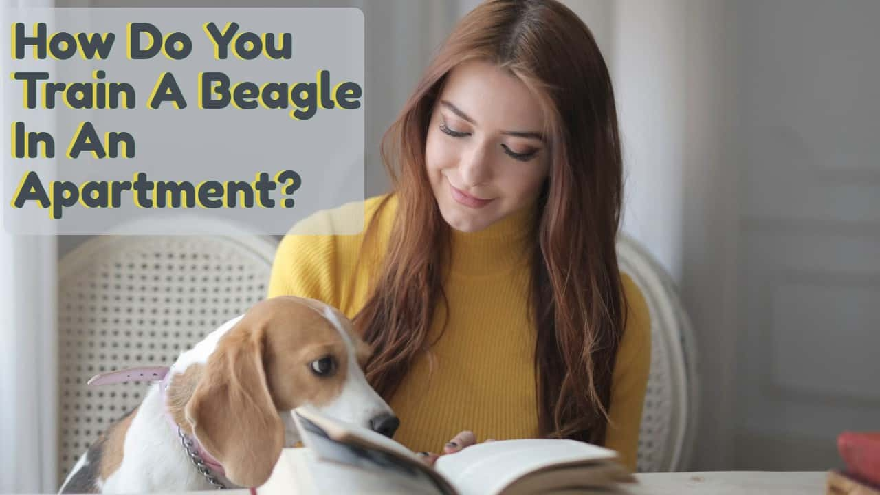How Do You Train A Beagle In An Apartment?