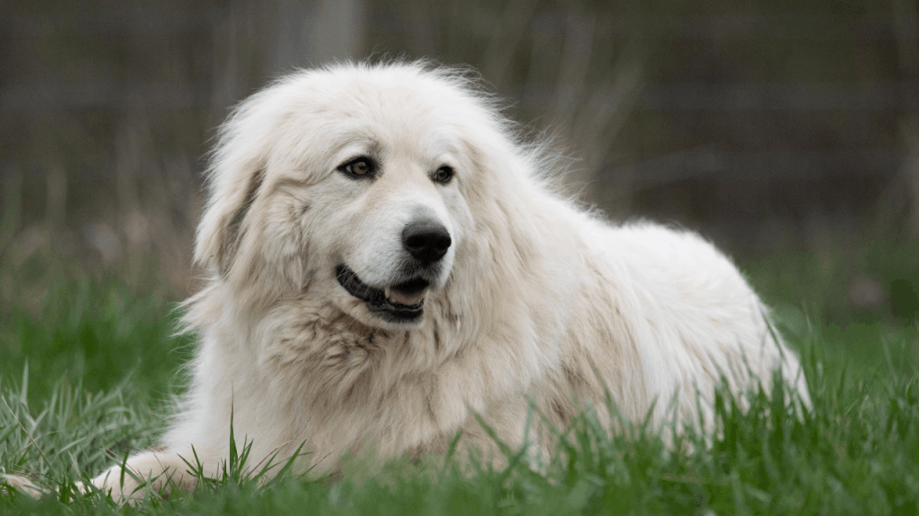 Large White Fluffy Great Pyrenees Dog Breed.