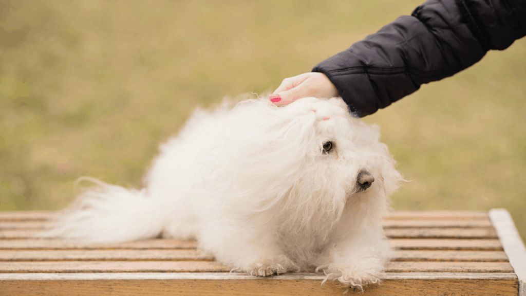 Small Fluffy White Bolognese Dog Breed